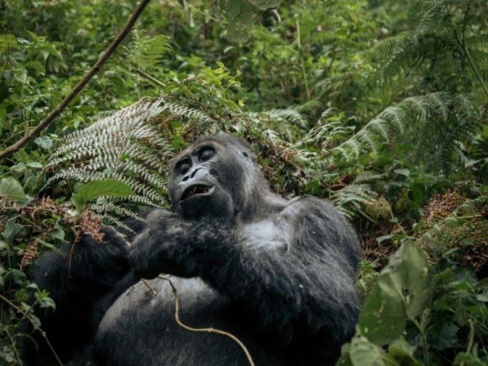 Un gorille du parc national de Kahuzi-Biega dans le nord-est de la RDC le 11 octobre 2019 afp.com - ALEXIS HUGUET